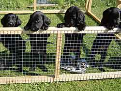 Flatcoat retriever puppies
